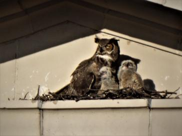 Female and two chicks