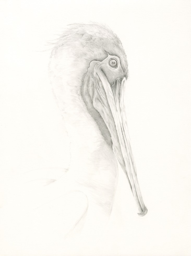 Brown Pelican - Graphite - N. Fontaine