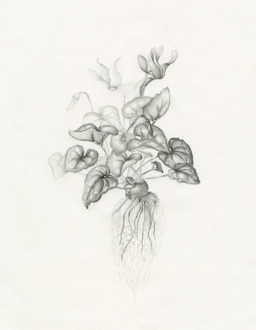 Graphite Cyclamen