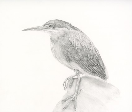 Graphite Green Heron by N.Fontaine