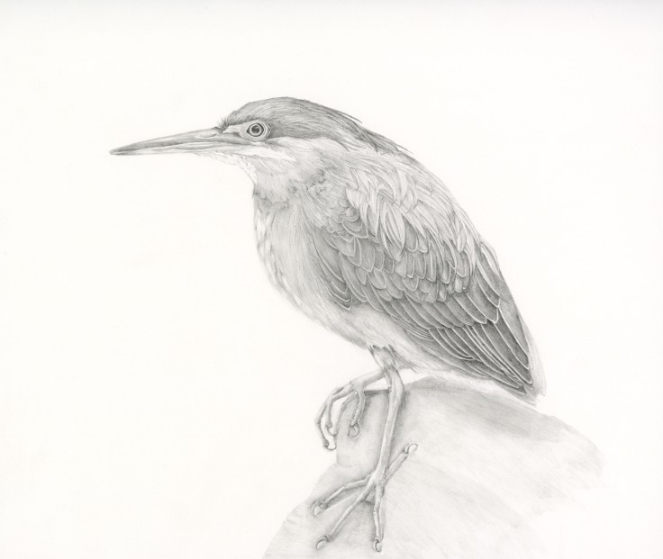 Graphite Green Heron