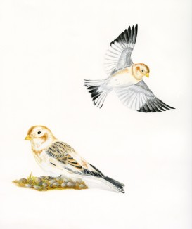 Snow Buntings - Color pencil - N.Fontaine