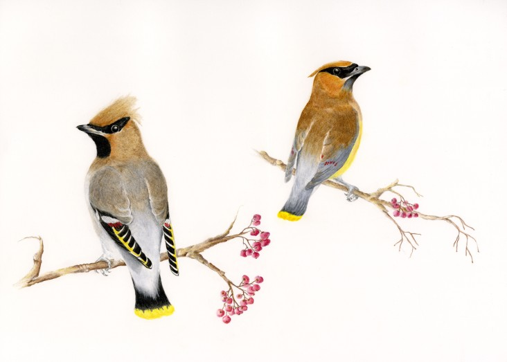 Waxwings in Color Pencil - N.Fontaine